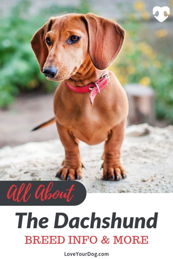 Dachshund Breed Information Long Haired Short Haired More