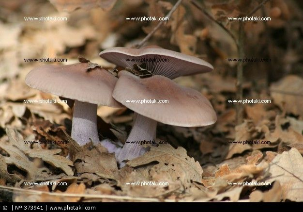 Blue foot mushroom