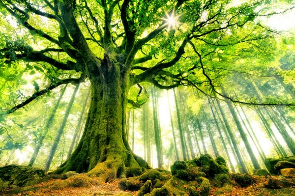 Les plus beaux arbres du Monde - Le Hêtre de Ponthus - Forêt de Brocéliande en Bretagne. The most beautiful trees of the World - The Beech Ponthus - Forest Brocéliande in Brittany.