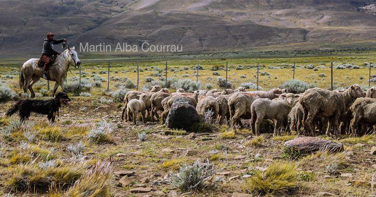 Gaucho traslada ovejas con ayuda de sus perros, en las estancias de la Patagonia. Fotografía: Martin Alba Courrau