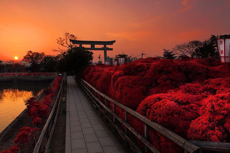 長岡天満宮朝5時半の日の出の霧島ツツジ - 92san-photo album    京都の四季