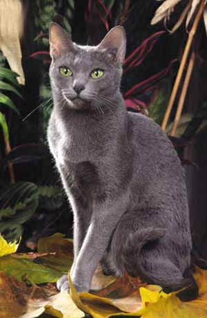The greatest cat breed in the world. TaDa! The Korat from Thailand.  Very unusual, very beautiful and very loving