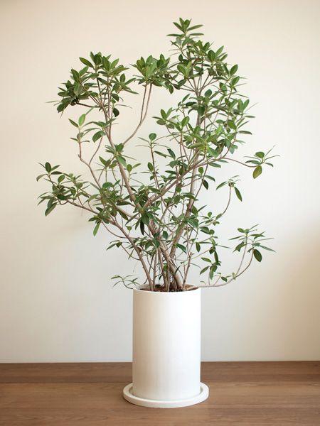 センカクガジュマル 販売・通販 [詳細ページ] *tree tree*
