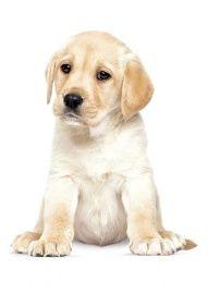 24 x 28 cm Full Color Print | Super Matte Top Coat  De puppie muurstickers van KEK Amsterdam bestaan uit allerlei schattige jonge honden. Deze muursticker van een jonge Labrador pup zorgt voor een levendige en speelse kinderkamer.