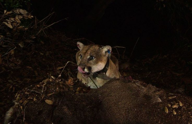 The Mountain Lions of Los Angeles - The New Yorker