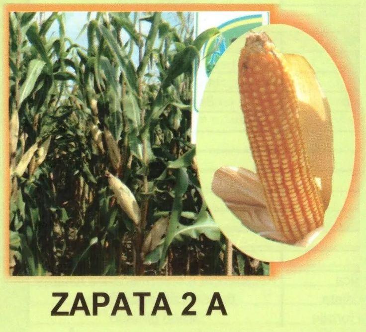 maiz-amarillo-hibrido-zapata2-20kg-semilla-para-forrajes-D_NQ_NP_460301-MLM20291692166_042015-F.webp (815×739)