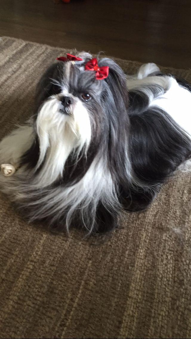 Best 25 Shih Tzu Ideas On Pinterest Shih Tzu Puppy