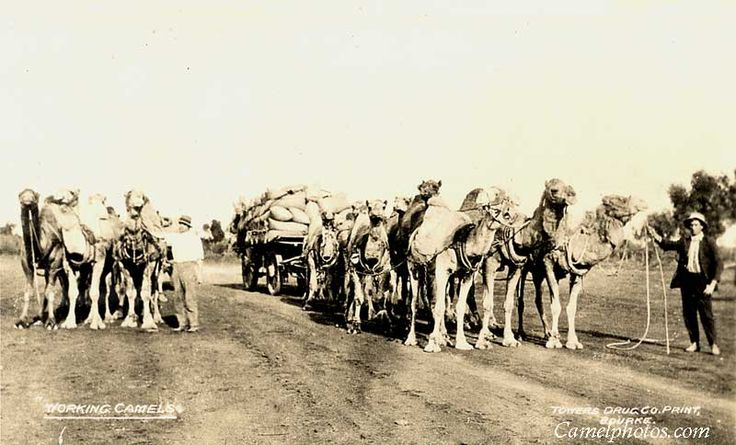 1900's Bourke, Australia. Camel Train and cameleers, the camel teams which travel from Bourke to distant outpost.