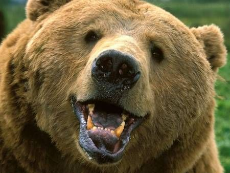 Welcome to Heartmenders Magazine U.S.A. Blog: Angry Bears and Residents Drag a Town in Russia