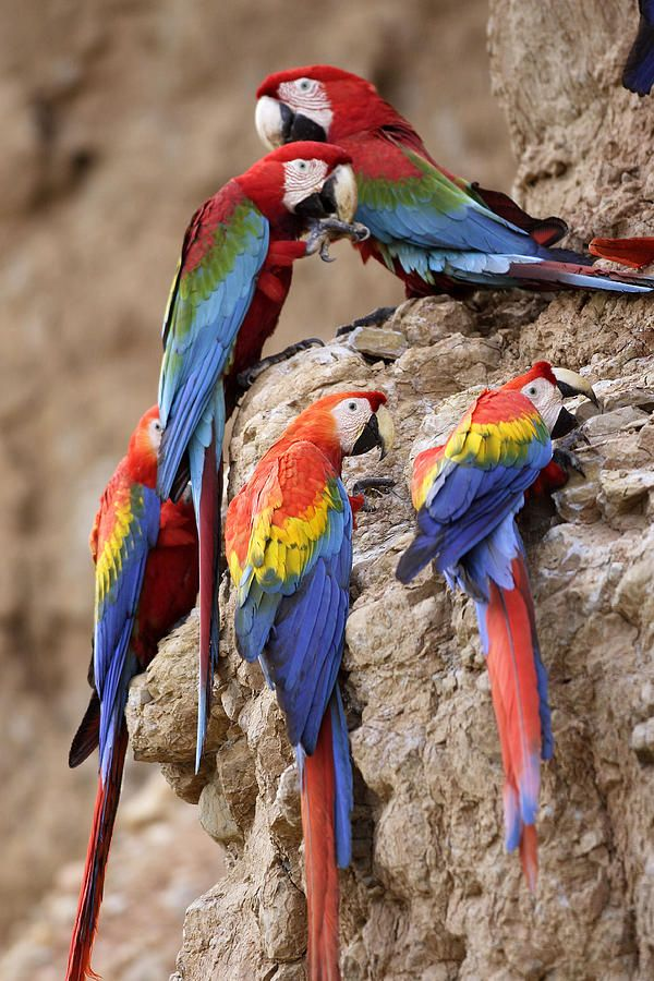 Parrot lick hook bill