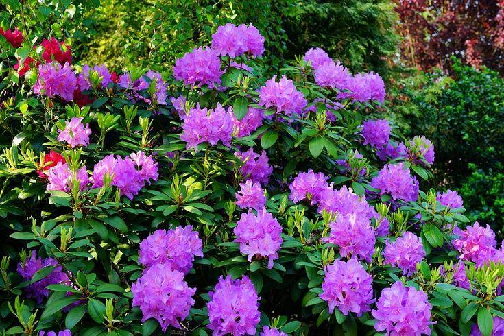 Azaléia, Rododendro, Flores, Flor Roxa, Planta, Jardim