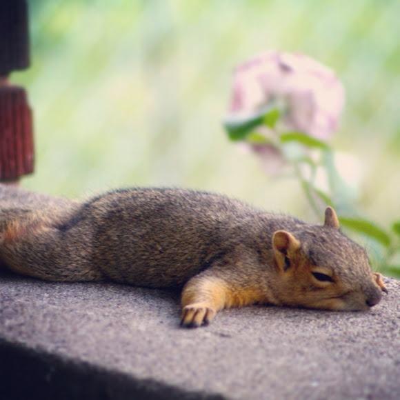 Fox Squirrel kapoot!