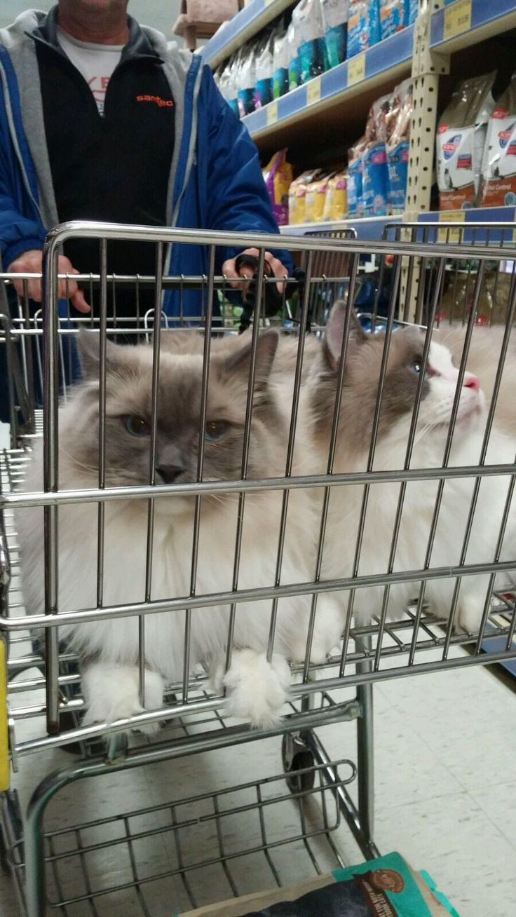 17 best images about ragdoll cats ontario kittens shopping for treats the ragdolls