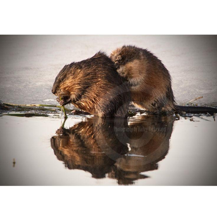 Alberta Canada little beavers #albertawildlife