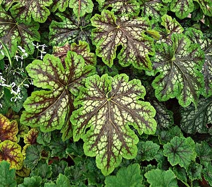 221 best images about Heuchera the best evergreen shade