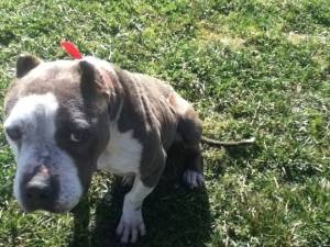 Poor Baby Fem Pit Rescued Abused Neglected Izzy Needs To Be Rehabbed With Other Dogs Free To Approved Home Craigslist 805 794 6042 3 Pets Dogs Pup