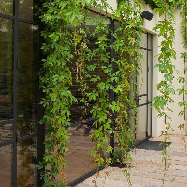 Just let it hang! Parthenocissus quinquefolia trailing across the windows