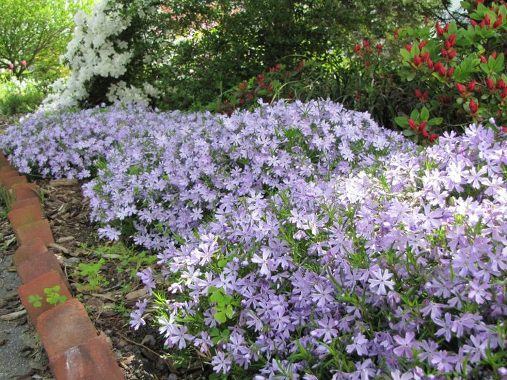 Best 25 Creeping Phlox Ideas On Pinterest Phlox Flowers