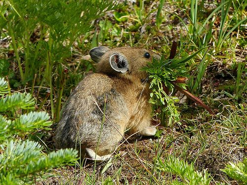Pikas live in rock and talus slopes in alpine meadows that provide them with nest sites and fodder. They don't store enough body fuel to hibernate. Instead they cut , dry and store large amounts of hay from mountain meadows to see them through the long winter months.