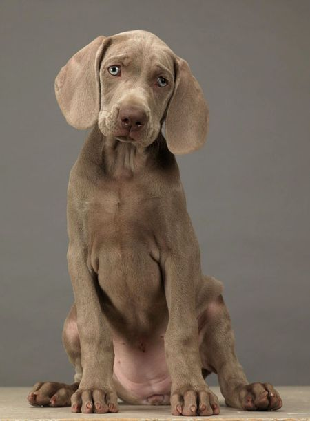William Wegman weimaraner photography. AWWWW are you kidding me? this is too cute