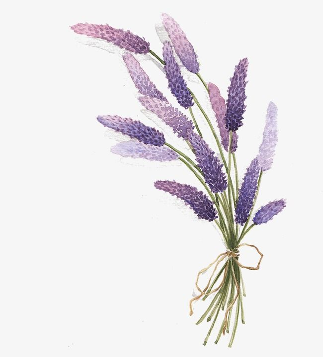 Lavender | Watercolor flowers, Lavender paint, Watercolor ...