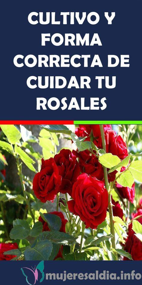 CULTIVO Y FORMA CORRECTA DE CUIDAR TU ROSALES