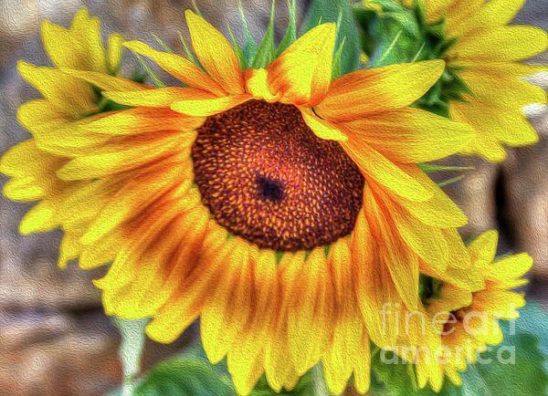 Sunflower #sunflower #macro #plant #fineart #photography #helianthusannus #garden #summer #season #sun #golden #agriculture #cultivated #flora #freshness