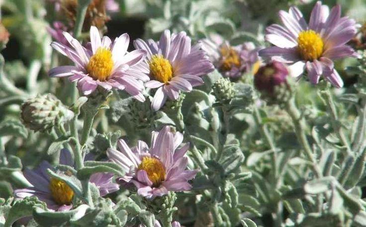 Corethrogyne filaginifolia, Silver carpet, Common Corethrogyne  has pink flowers and gray foliage. - grid24_12