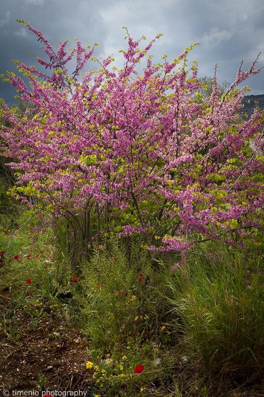 purple blossom tree Greece, Korinthos Argos
