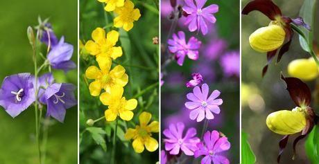 Niityt ja pientareet ovat kesällä täynnä kauniita kasveja, ja ne on hauska tuntea nimeltä.
