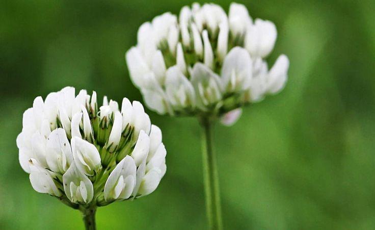 Der Weiß-Klee zählt zweifellos zu den hartnäckigsten Rasenunkräutern. Hier stellen wir verschiedene Methoden vor, um die Pflanzen aus dem grünen Teppich zu verdrängen