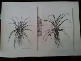 Charcoal on paper. Aloes.
