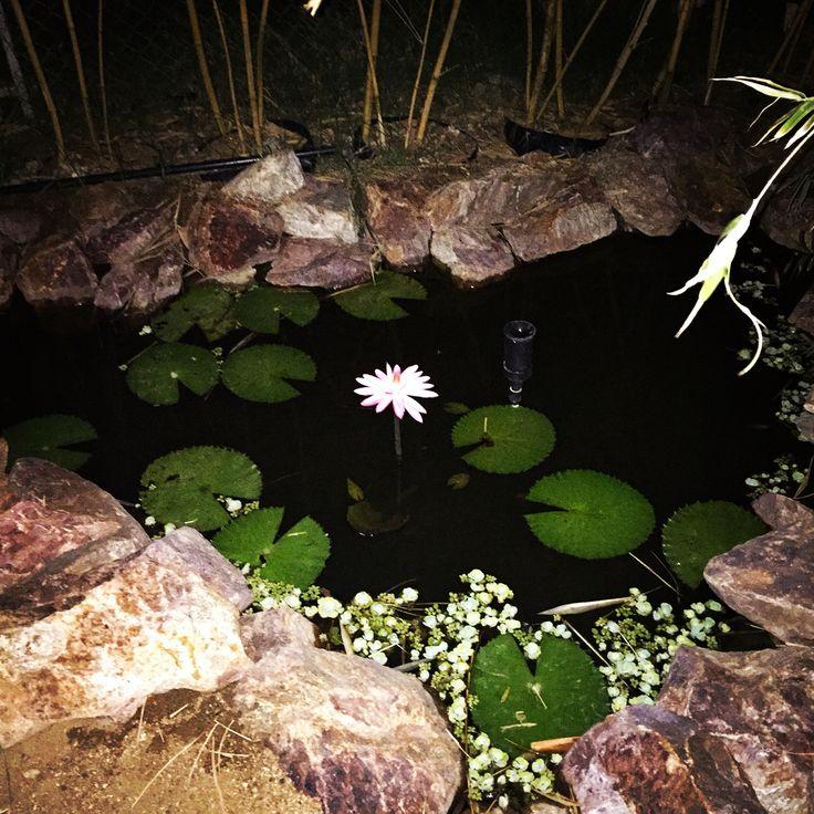 #waterlily #flower