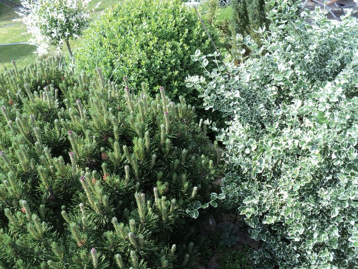 Borovice, brslen, buxus, ... květen 2016