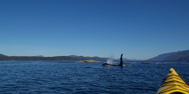 Imagine the exhilaration you'd feel if this guy surfaced mere meters from your kayak! A thrill of a lifetime to be sure.