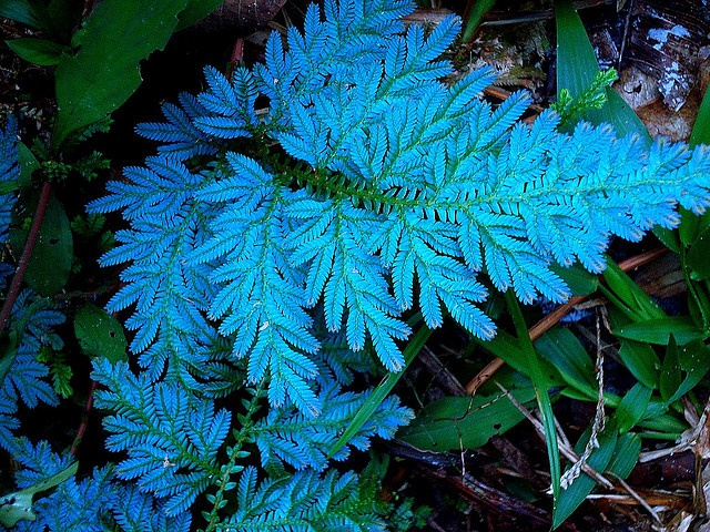 Selaginella willdenowii  Iridescent blue peacock fern. This girl is a fern lover!