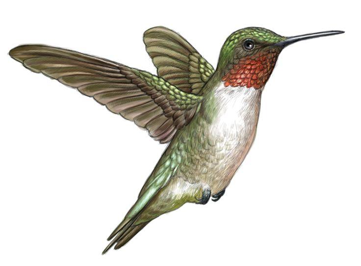 Bird Illustrations by Nicholas Mikesell at Coroflot.com