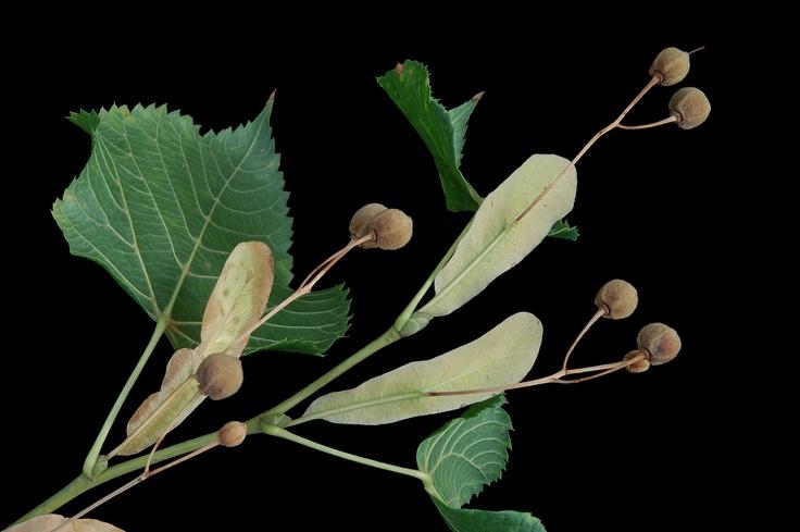 tilia cordata mill - little-leaf linden, small-leaved lime