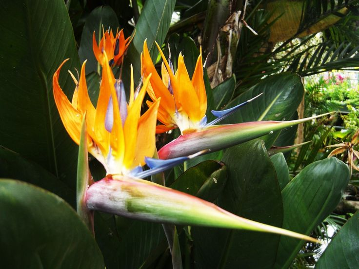 55 best plants to beware images on pinterest poisonous plants california state flower bird of paradise reminds me of my fab friend shari andre in chitown i chatting in the garden about changing the present to fandeluxe Image collections