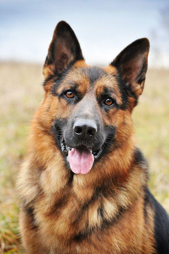 Картинки собак авчарки