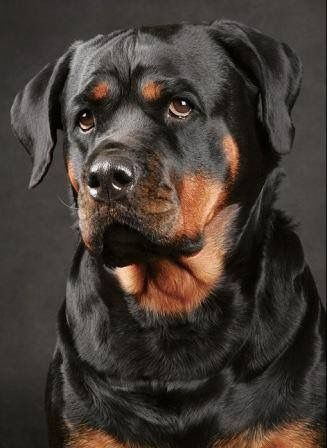 Love the expression on the face of this beautiful Rottie...reminds me of Ceaser a dog that Jim Jr adopted when this wonderful dog desperately needed a home..Jim got a best friend and Ceaser received a good home love and devotion for the rest of his life.