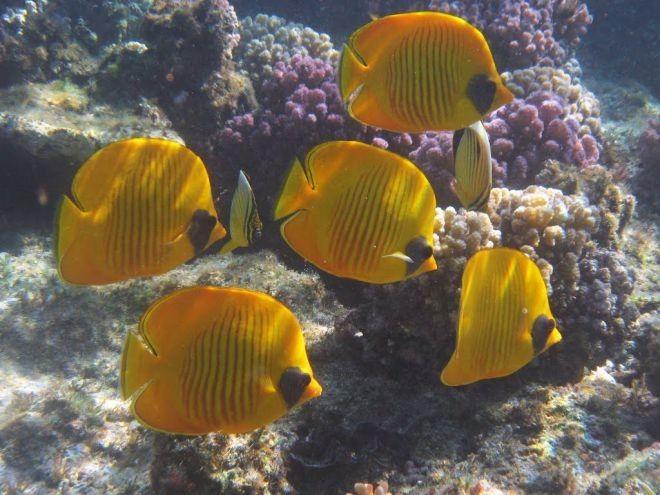 16. Масковая рыба-бабочка