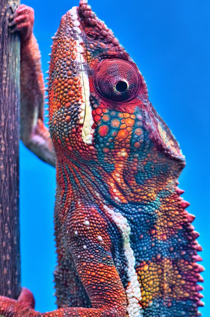 unconventionality (Panther chameleon) (by zoohiko)