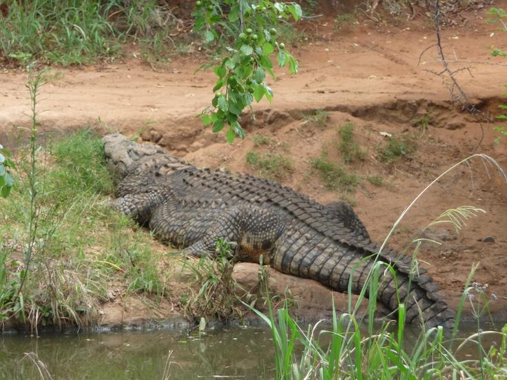 Monster crocodile, Sun City, South Africa