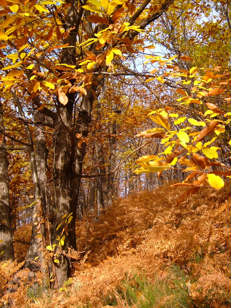 The chestnut woods in the Cevennes in autumn