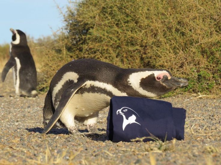 Daniel Aves: El pingüino de Magallanes