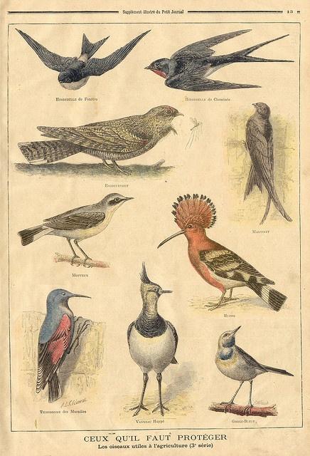 birds || le petit journal 10 jan 1897