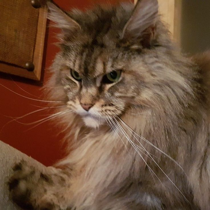 Madame maine coon cat http://www.mainecoonguide.com/adopting/