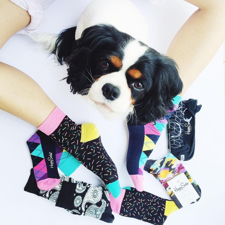 """""Can I have a pair?"" cc// @happysocksofficial #chloe #cavalierking #puppy #dog #sweet #loveher #happysocks"""