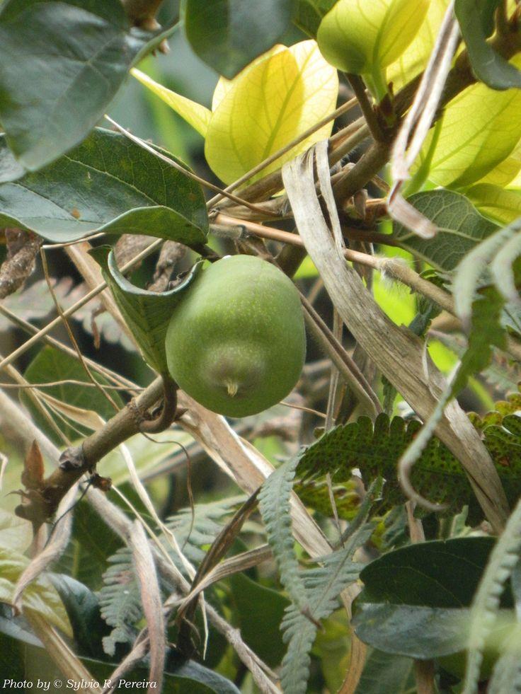 Fruto da Hera | Ficus pumila L. Família Moraceae. Fruto não … | Flickr - Photo Sharing!